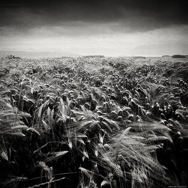 Summer Field VII