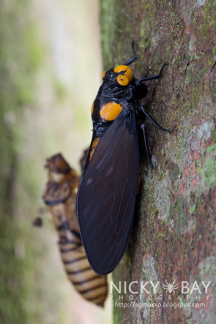 Moulting of the Black and Golden Cicada