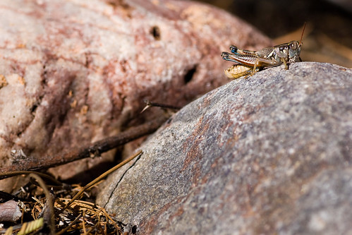 grasshopper_on_rocks