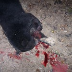 Illegally killed black bear found in the Avoyelles Parish (2)