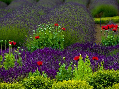flowers summer colors landscape washington lavender sequim 2012 1bluecanoe