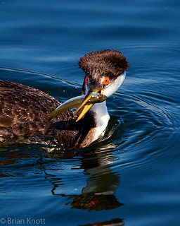 Western Grebe With Fish