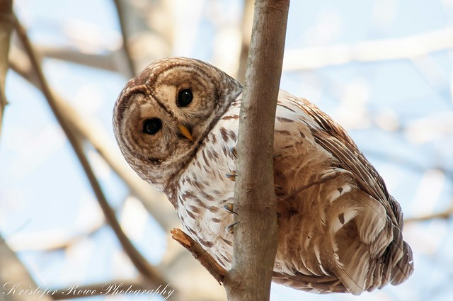Barred Owl-3