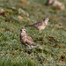 Dotterel_9646 (Corvo, Azores, 18 Oct 2009) © Dominic Mitchell