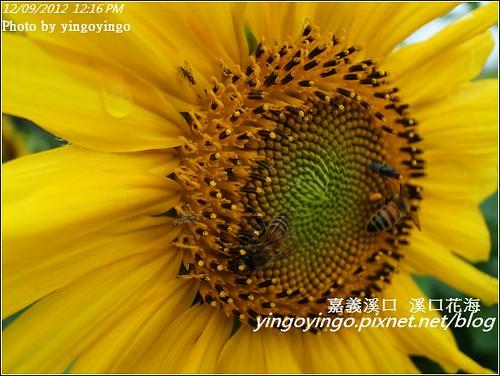 嘉義溪口_溪口花海20121209_R0010806
