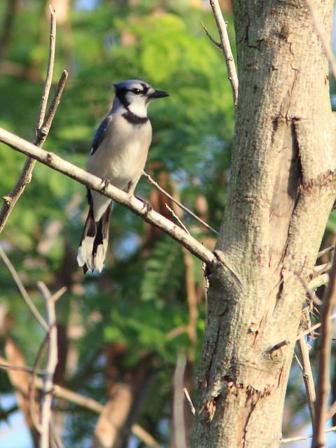 Blue Jay 20121213