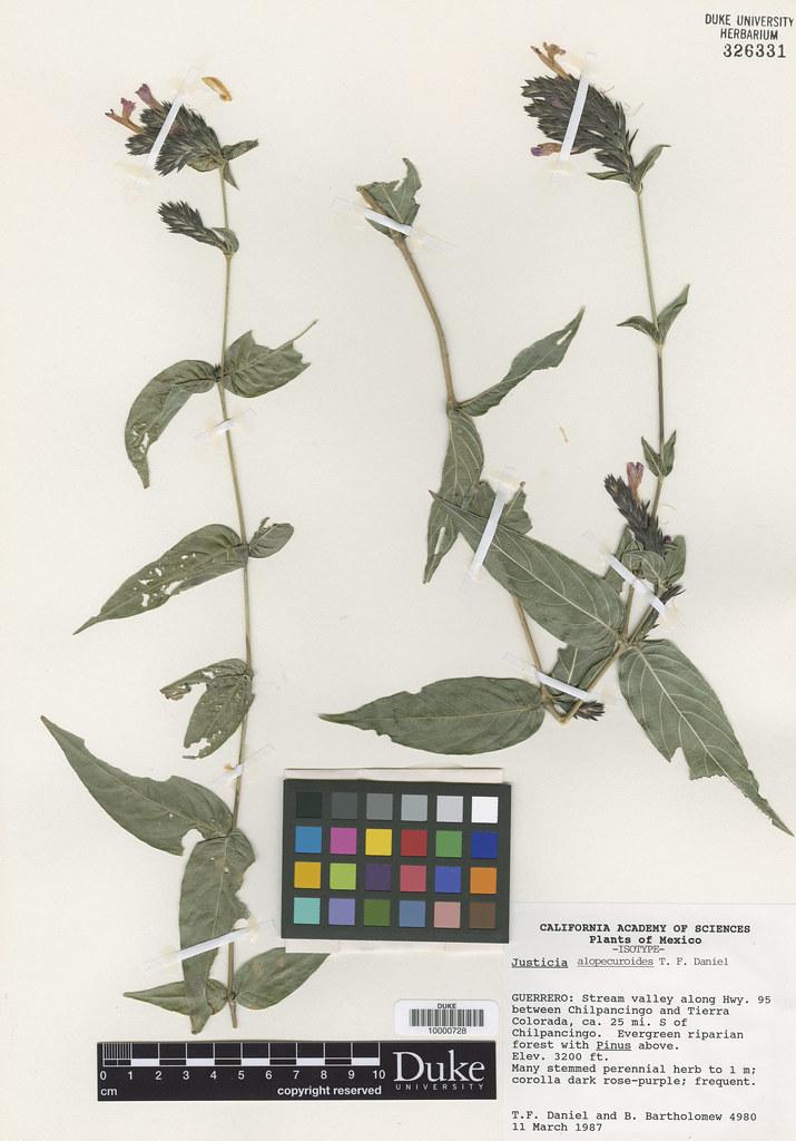 Acanthaceae_Justicia alopecuroidea