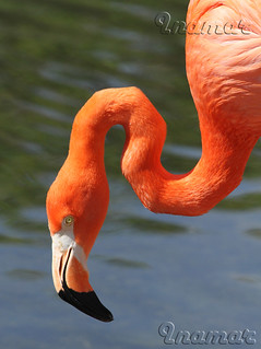 flamenco  Flamand Rose