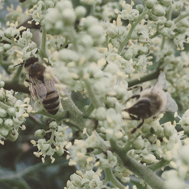 Bees #honeybees #flameleafsumac #floweringtrees #bees #flowers