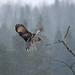 Lapinpöllö - Great Grey Owl, Rovaniemi by Antti Peuna