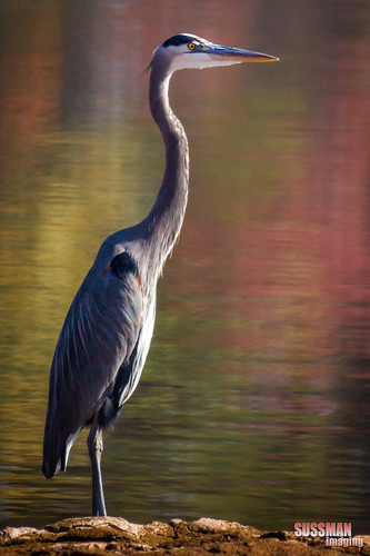 A reflective great blue heron