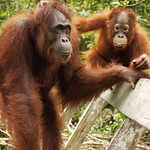 Mum & Baby Orangutan at Camp Leaky