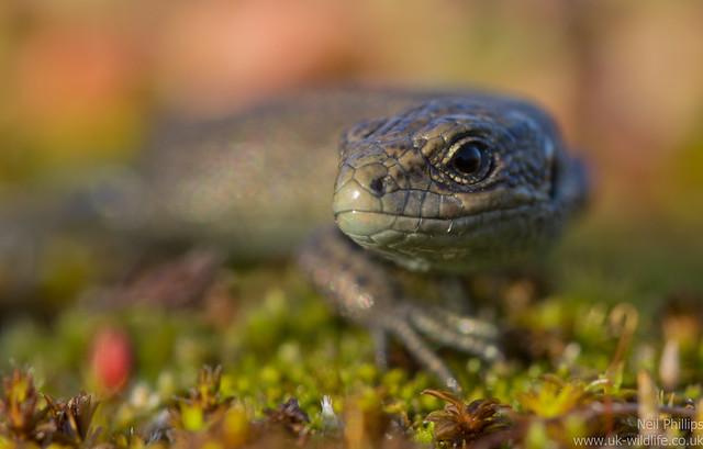 common lizard juvenile Zooteca vivipara 5