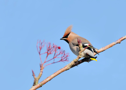 Waxwing by Andy Pritchard - Barrowford