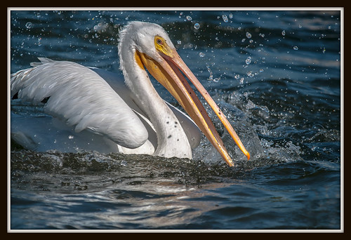 _JHP_5254_Fresh water Pelican