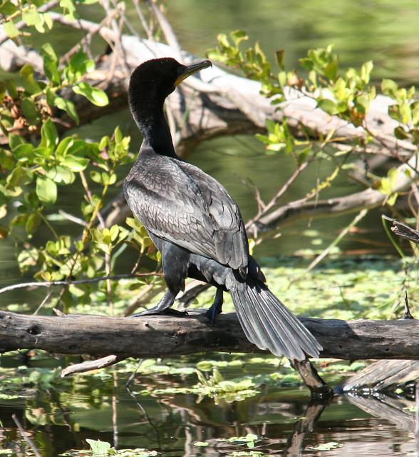 neotropic cormorant 02