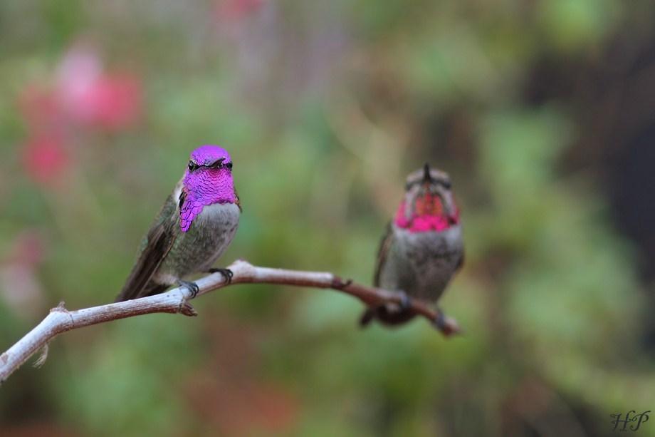 Costa's X Anna's Hummingbird 111312