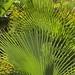 Palm leaves (used for making hats) - Palmas para hacer sombreros; Región Mixteca, Oaxaca, Mexico por Lon&Queta