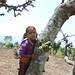Fig tree in Nepal
