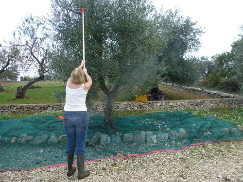 Mary harvests our olives 01