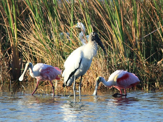 Stork with spoonbills 20121125