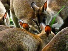 IMG_1533 Kangaroos