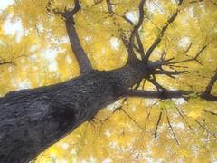 [フリー画像素材] 自然風景, 樹木, 銀杏・イチョウ ID:201212021200