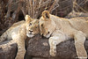 Two cuddly lions in Zimbabwe