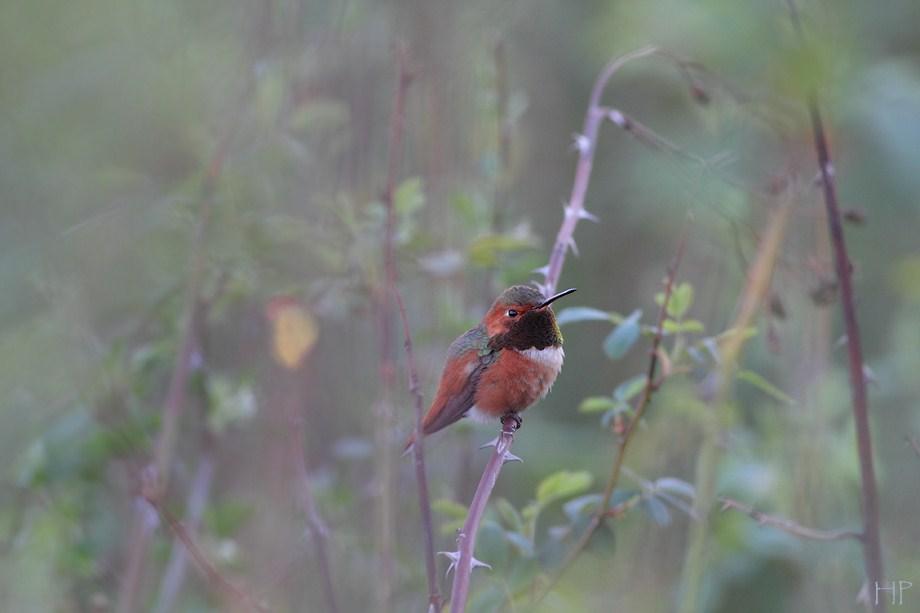 Allen's Hummingbird 112912