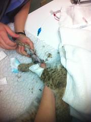 Bobcat #12-2591 surgery