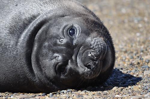 Patagonia: Elefantes Marinos en Isla Escondida