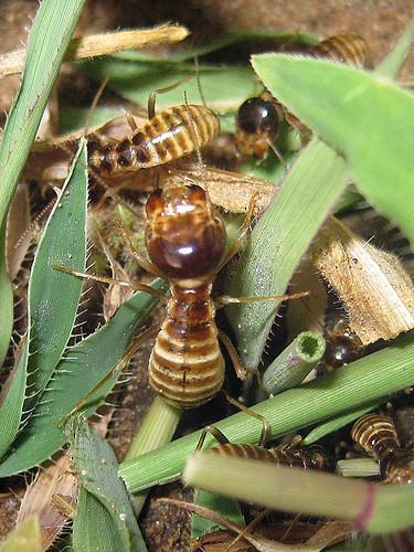 Hodotermes mossambicus 1