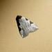 Small photo of Chorsia trigona. Acontia