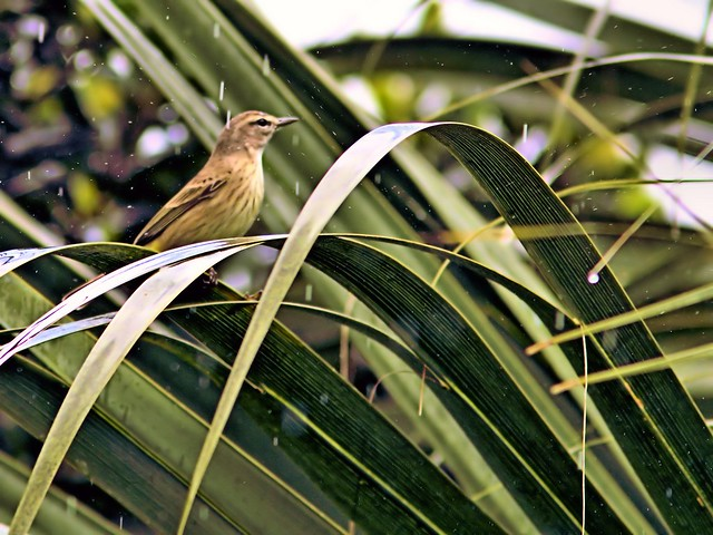 Palm Warbler in the rain 20121203