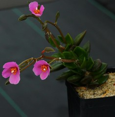 Anacampseros rufescens, South African Sun Rose