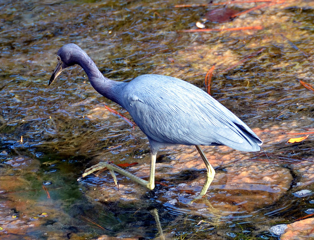 Night heron hunts for dinner in a Hilton Head Island lagoon on a late afternoon in December.