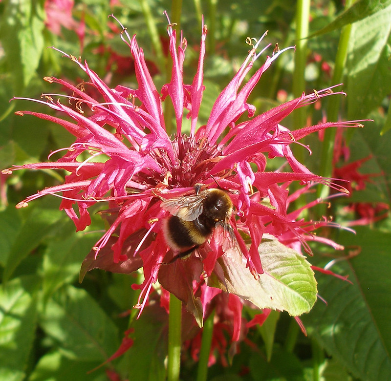 Buff-tailed Bumblebee on Bergamot