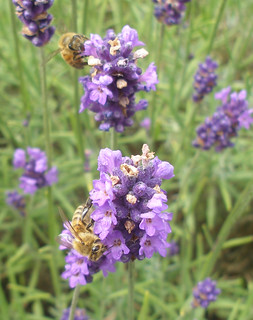 honeybee on lavender 3