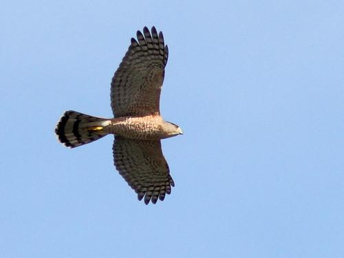 Cooper's Hawk 3-20121211