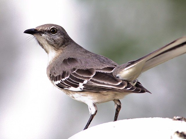 Northern Mockingbird 3-20121213