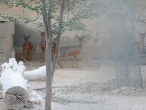 世界最小的羚羊