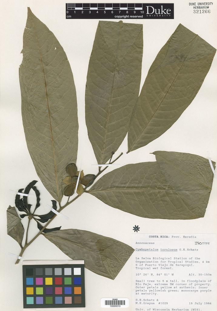 Annonaceae_Cymbopetalum tortulosum