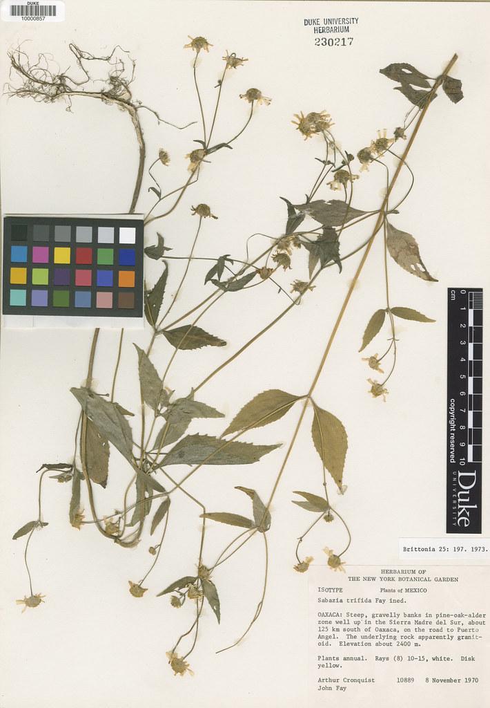 Asteraceae_Sabazia trifida