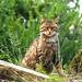 Scottish Wildcat by Bev & Paul Mynott