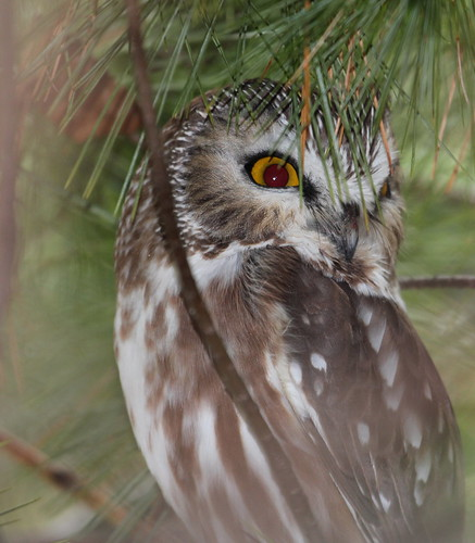 Northern saw-whet owl by ricmcarthur