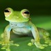 Glass frog (6) by pbertner