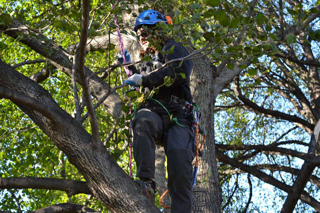 An arborist assesses crown damage and removes hanging limbs so that teams can work safely below. Photo by Elizabeth Peters.