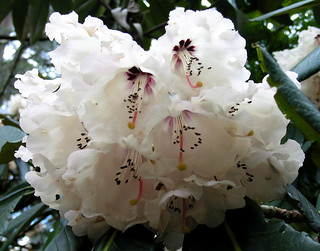 Rhododendrons 052