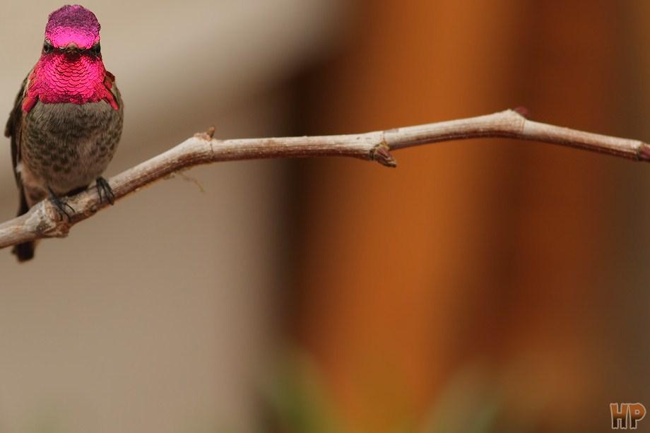 Anna's Hummingbird 111012