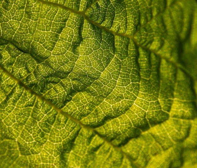 hazelnut tree leaf   Flickr - Photo Sharing!